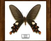 Pachilopta polyeuctes