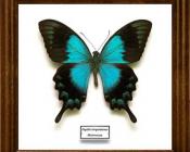 Papilio lorquinianus