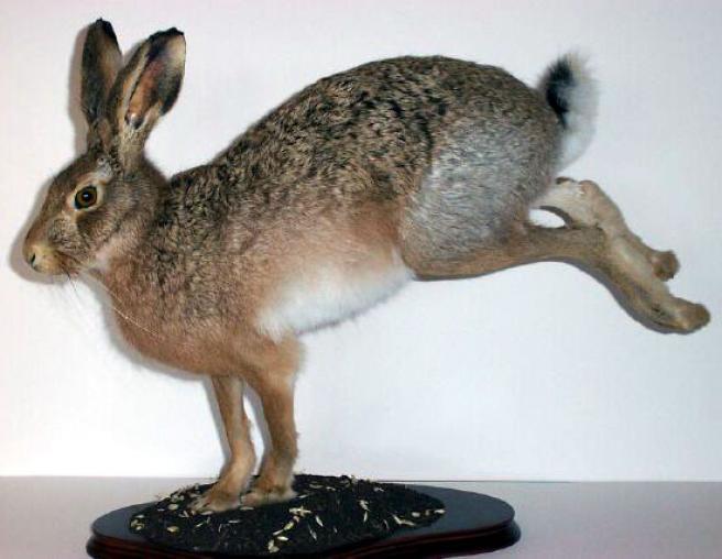 Заяц (чучело зайца)