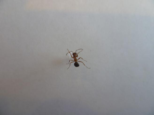 Кровавый муравей
