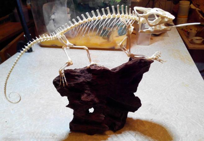 Скелет хамелеона