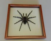 Паук в рамке Acanthoscurria geniculata