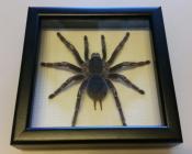 Паук в рамке Aphonopelma seemani