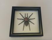 Паук в рамке Davus fasciatus