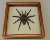Паук в рамке Grammostola pulchripes