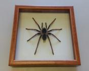 Паук в рамке Megaphobema robustum