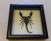 Скорпион в рамке