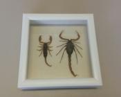 Скорпионы в рамке