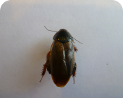 суринамский таракан